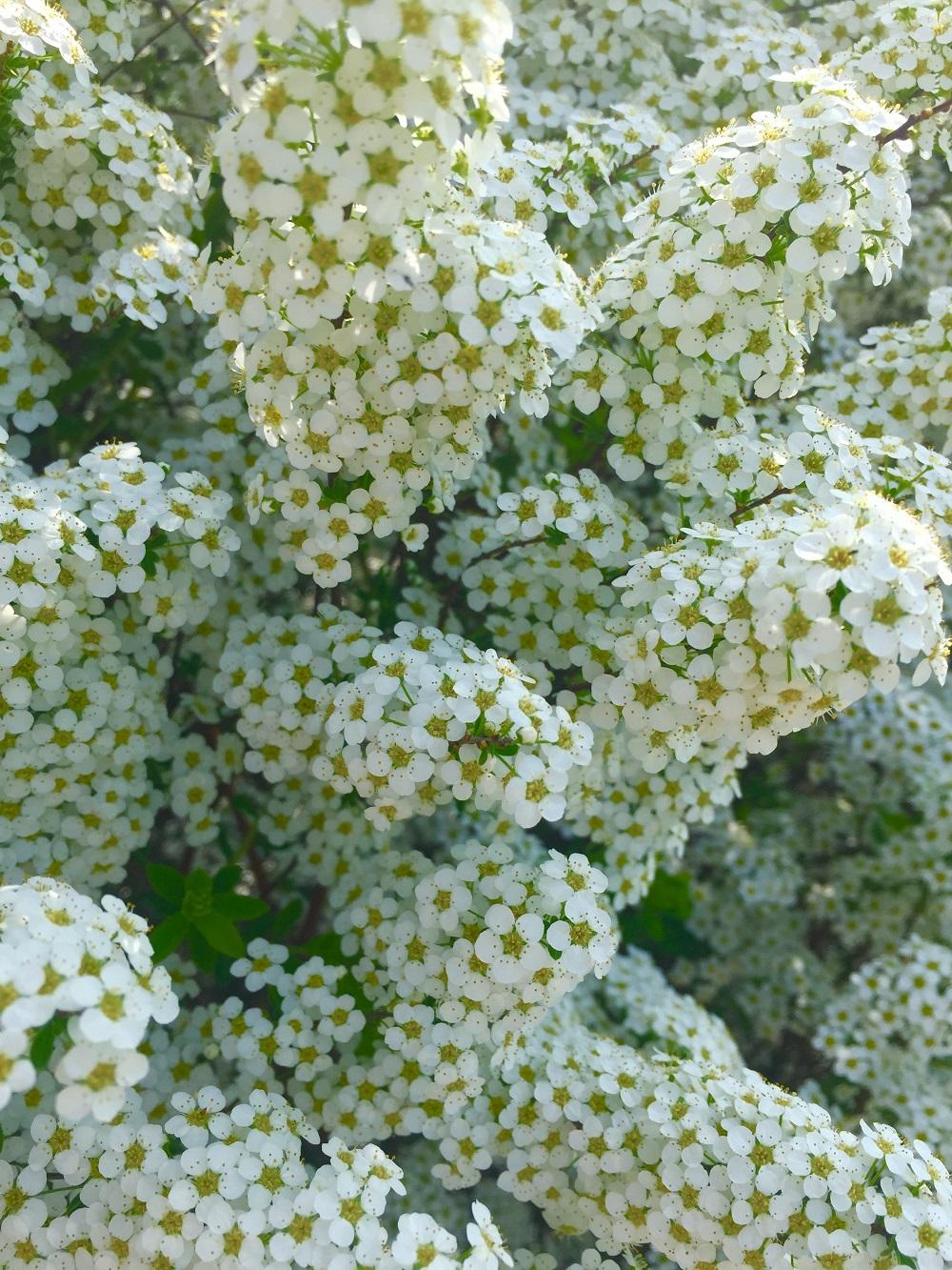 Siepi Miste Da Giardino dalla tavolozza del giardino: e' di scena il bianco | il