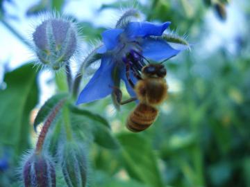 Borago-Officinalis-un-fiore-visitato....jpg