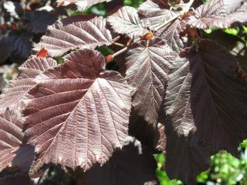 Corylus Maxima Purpurea particolare delle foglie.jpg