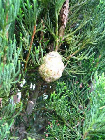 Cupressus_sempervirens__particolare del frutto.jpg