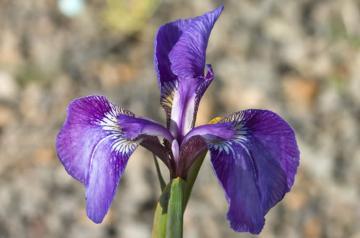 Iris setosa fiore.jpg