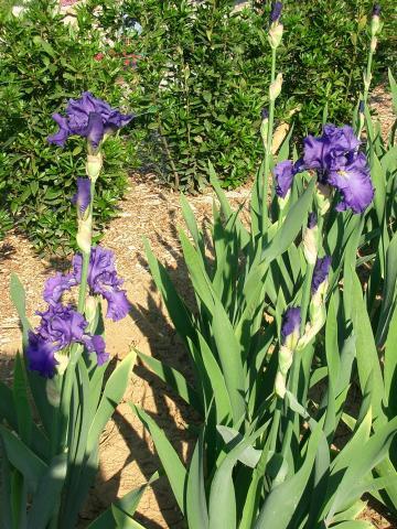 Iris-Blues-Suede-Shoes.jpg