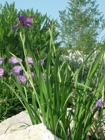 Iris-Sibirica.jpg
