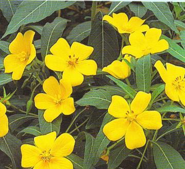 Jussaea-Grandiflora.jpg