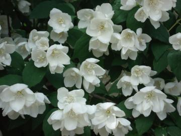 Philadelphus-particolare-dei-fiori.jpg