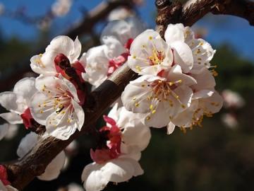 Prunus-armeniaca particolare dei fiori.jpg