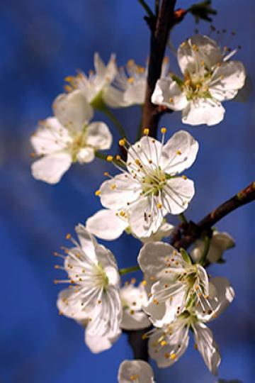 Prunus_cerasifera particolare dei fiori.jpg
