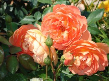 Rosa inglese Pat Austin.JPG