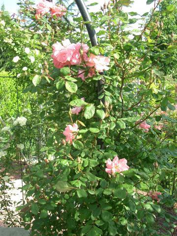 Rosa-Claire-Matin.jpg