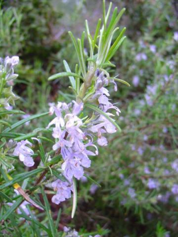 Rosmarinus officinalis particolare del fiore.jpg