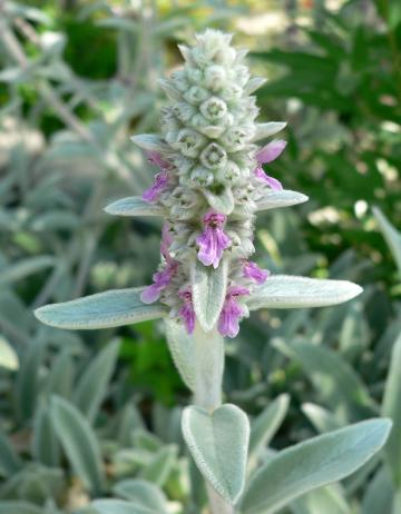 Stachys Bizantina fiori.jpg