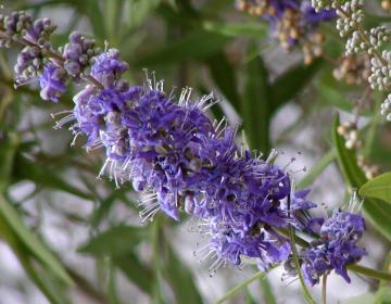 Vitex_agnus-castus_particolare dei fiori.jpg