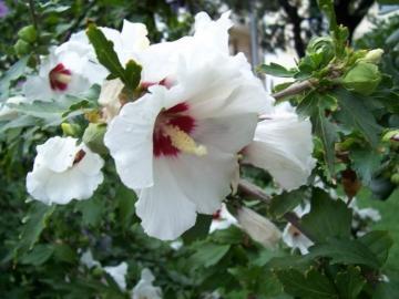 hibiscus_syriacus_.jpg