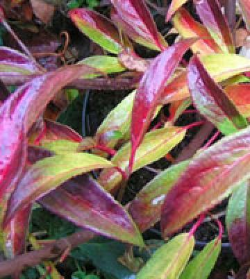 viburnum x hillieri winton particolare della foglia in autunno.jpg