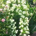 Rosa Banksiae Alba Plena.JPG