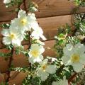 Rosa-Primula-particolare-dei-fiori.jpg