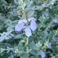 Teucrium Fruticans particolare fiore.jpg