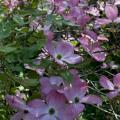 cornus florida.jpg