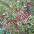 viburnum x hillieri winton le bacche.jpg